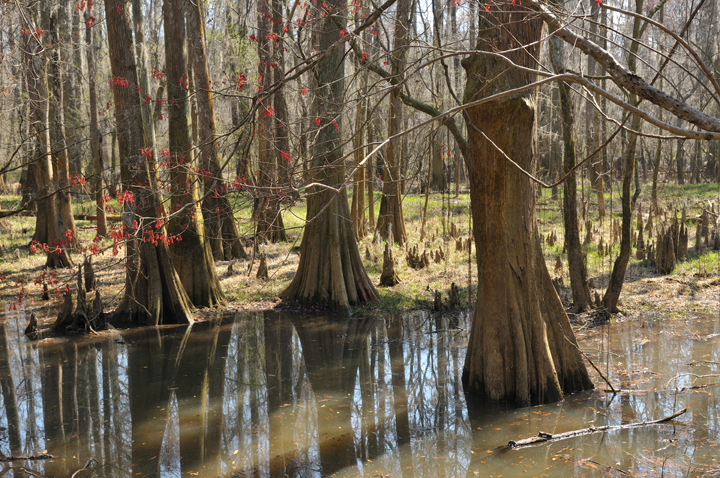 The cypress trees cast shadows in the water; a branch in the foreground is covered with tiny red blooms.
